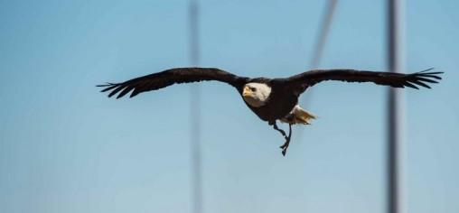 Eagle from Auburn